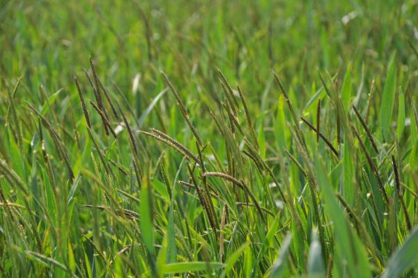 Blackgrass - Credit Rothamsted Research