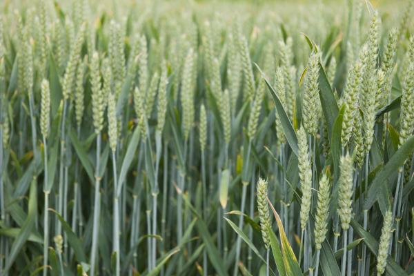 Wheat-fields - Credit Rothamsted Research