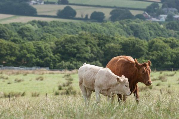 Livestock in field - Credir Rothamsted Research